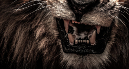 Der Kaffernbüffel - Die 10 tödlichsten Tiere für den Menschen, Teil 5